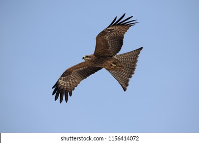 Black kite (Milvus migrans) is a medium-sized bird of prey.  The upper plumage is brown but the head and neck tend to be paler. The patch behind the eye appears darker.