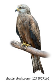 The Black Kite (Milvus migrans) is a medium-sized bird of prey in the family Accipitridae, which also includes many other diurnal raptors. Photo was taken in zoo.