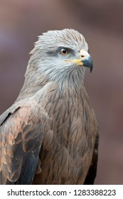 The Black Kite (Milvus migrans) is a medium-sized bird of prey in the family Accipitridae, which also includes many other diurnal raptors. Hunter pet.
