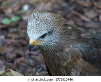 Black kite (Milvus migrans) is a medium-sized bird of prey in the family Accipitridae.