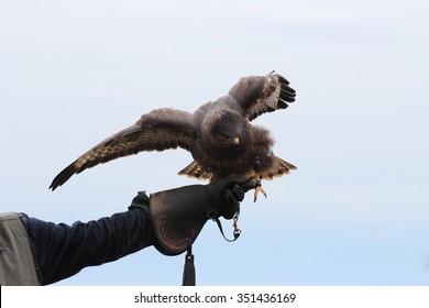 The black kite, Milvus migrans on falconry glove
