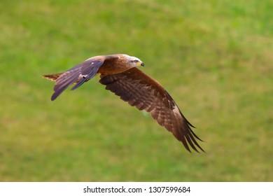 Black kite Milvus migrans predatory bird in flight, hunting on a sunny day.