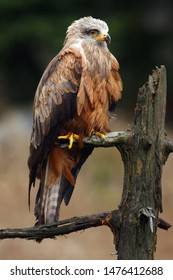 The black kite (Milvus migrans) sitting on dry branch wuth dark background.