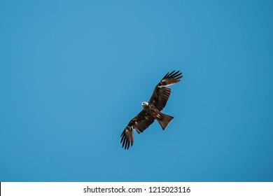 Black Kite Or Milvus Migrans Wild Bird Flies In Blue Sky In Belarus. Bird Of Prey Of The Hawk Family.