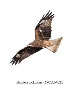 Black kite or Pariah kite flying on white background