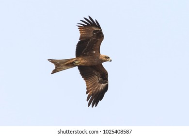 Black kite, resident in Thailand