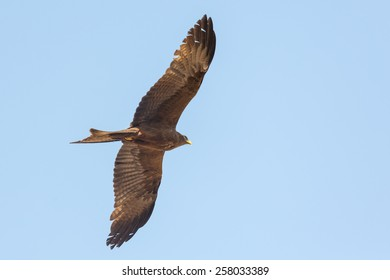 Black Kite which is locally known as Amora, flying in the air