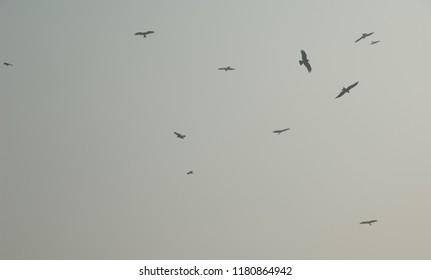 Black kites (Milvus migrans) soaring. Old Delhi. Delhi. India.