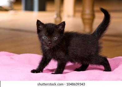 Black kitten in a living room