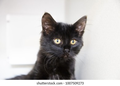 Black kitten looking in camera isolated