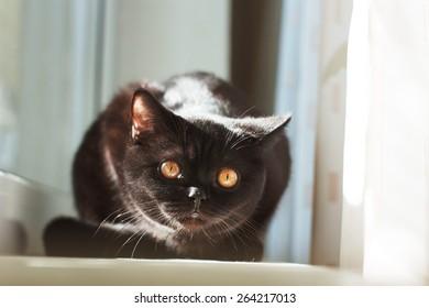 Black kitten. Portrait of cat on window sill. British Shorthair