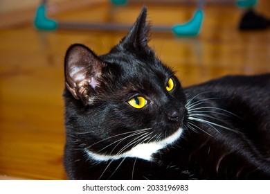 black kitten with white paws close-up on the floor