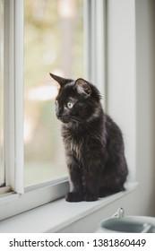 Black kitten in window, house cat, pet portrait
