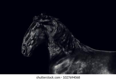 Black kladruber horse on black background. low key