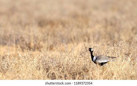 Black Korhan (Eupodotis melanogaster) in the Kalahari, Botswana