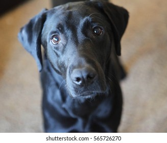 Black lab beautiful face