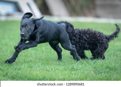 Black Lab and Cockerpoo pups play fight