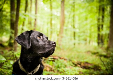 A Black Lab in Forest.