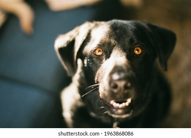 Black lab with a funny alert look on his face sitting on rug at sunset