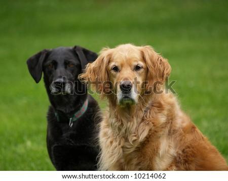 Black Lab Golden Retriever Dog Stock Photo Edit Now 10214062