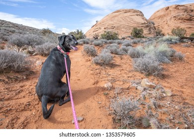 Black lab hiking on the way to Longbow Arch located in the Poison Spider Mesa Utah