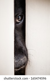 Black Lab (Labrador) dog pushing his nose and face through the slats of a fence
