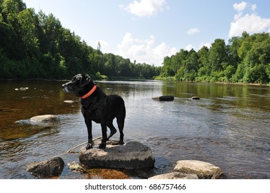 Black Lab with Pink Collar Standing on a Rock in the Middle of the Big Fork River - Minnesota