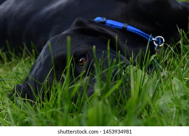 Black Lab Puppy in the Grass