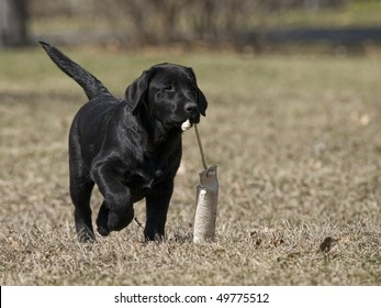 Black Lab puppy happily retrieving her bumper.
