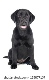black lab puppy, two months old - Stock Image