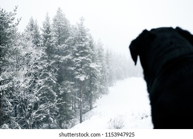 Black Lab Sitting and Looking at Snowy Woods