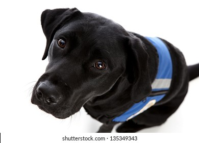 Black lab wearing a working vest & looking up at the camera.  Isolated on white.
