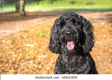 Black labradoodle labrador poodle dog pet sitting outside watching waiting alert looking hot happy excited white panting smiling and staring at camera