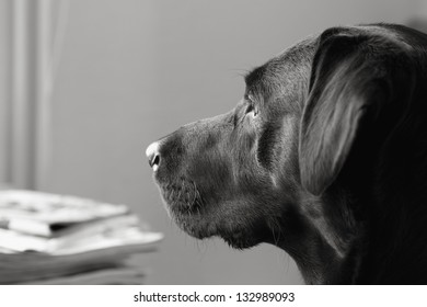 Black Labrador