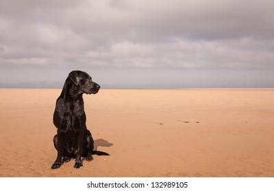 Black Labrador at the beach