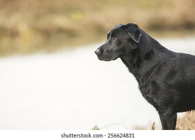 Black Labrador by River