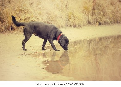 Black Labrador catches fish in the pond