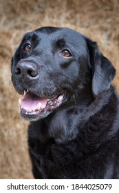 Black labrador dog in barn with hay as background