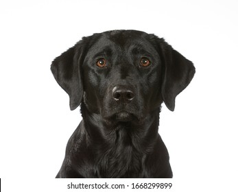 Black labrador dog isolated on white. Image taken in a studio, black dog with brown eyes.