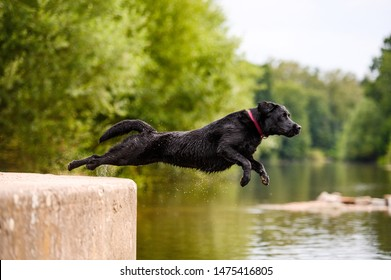 Black labrador dog jumping into the water in summer