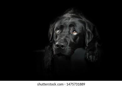 Black Labrador Dog looking sweet