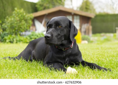Black labrador dog playing in garden