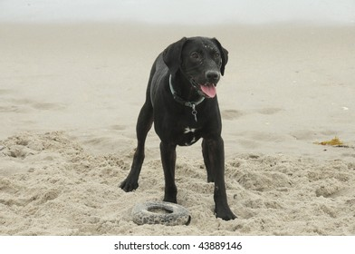 Black Labrador Dog playing with his tire toy on a Florida beach