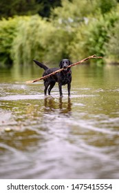 Black labrador dog playing and jumping in water