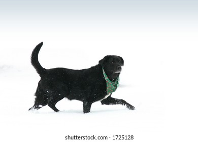 Black labrador dog running through snow