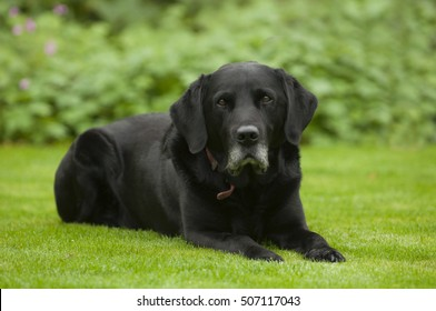 Black labrador dog sitting in back garden
