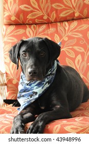 Black Labrador Dog sitting in a lounge chair with his camouflage handkerchief (#2)