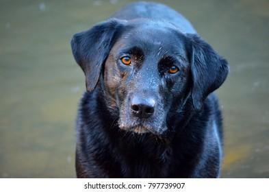 Black labrador dog in water