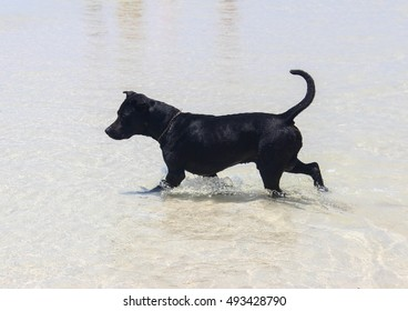 Black Labrador enjoy playing no the beach