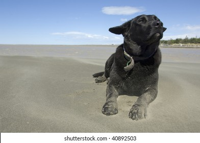 Black labrador enjoying the wind and sand on beach